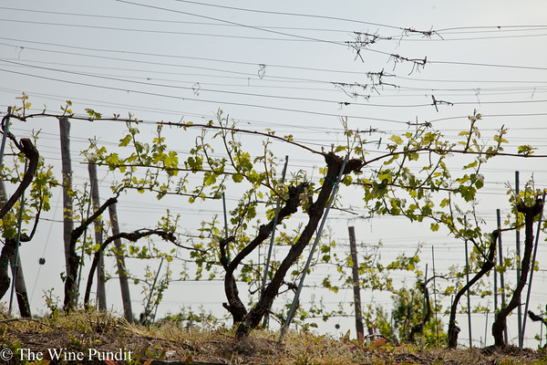 Gattinara vines
